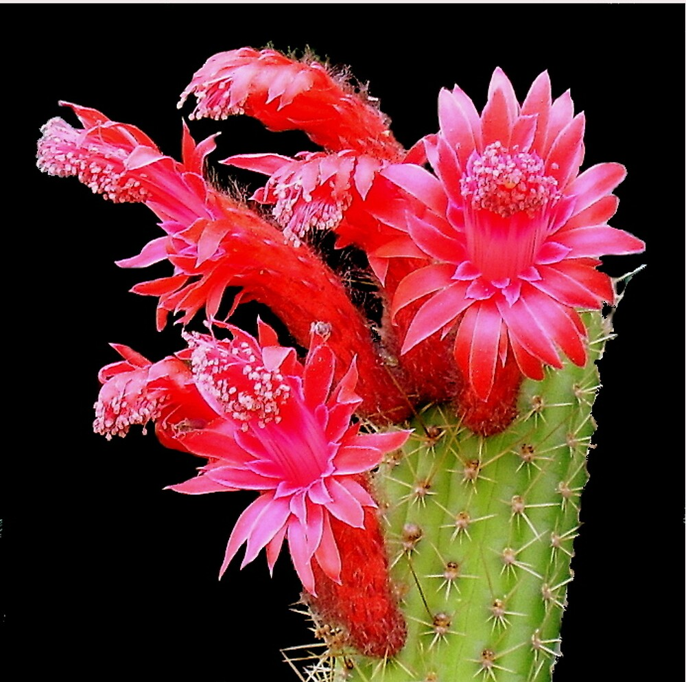 Cacus flower by Tugela