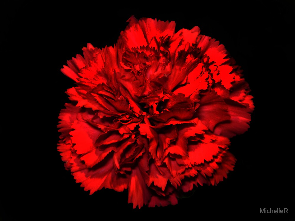 The Carnation by MichelleR