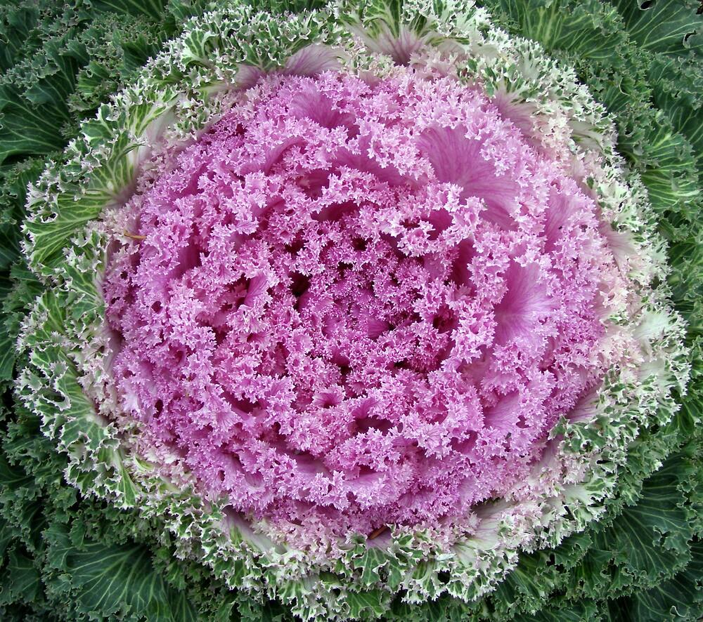 Flowering Kale by Evan Johnson