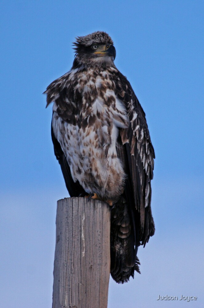 Young Eagle by Judson Joyce