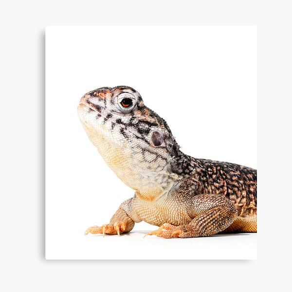Central Netted Dragon [Ctenophorus nuchalis] Canvas Print