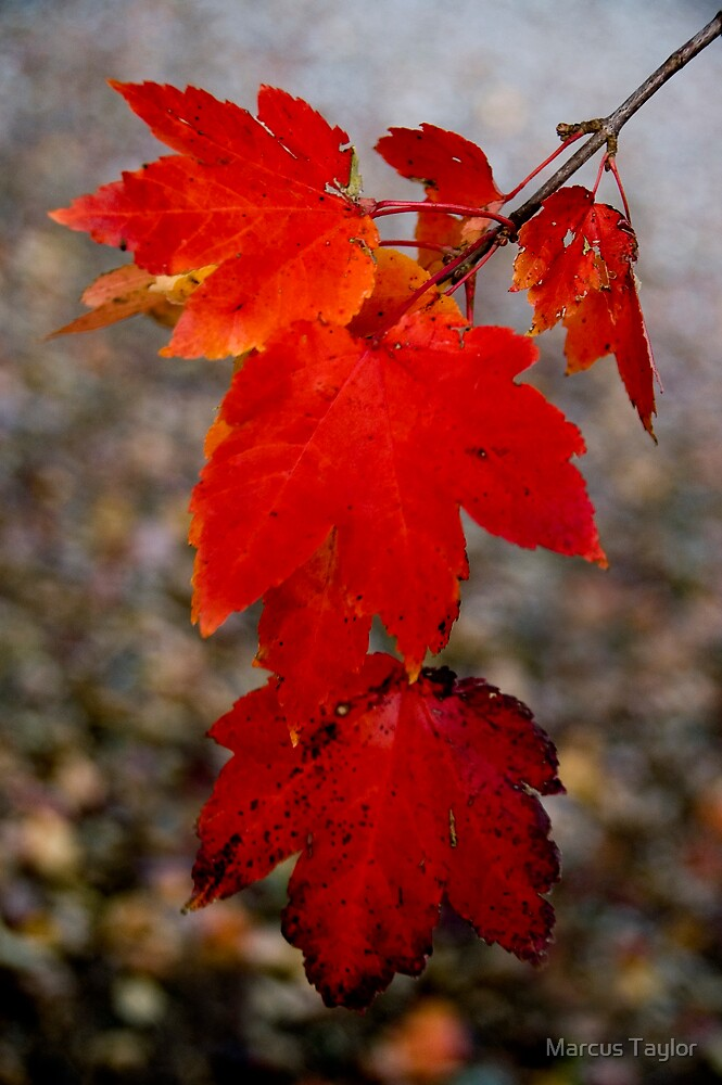 Autumn Red by Marcus Taylor