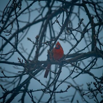 cardinal by swiftwon
