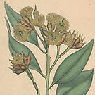 Botanical illustration: Eucalyptus robusta  – State Library Victoria by StateLibraryVic