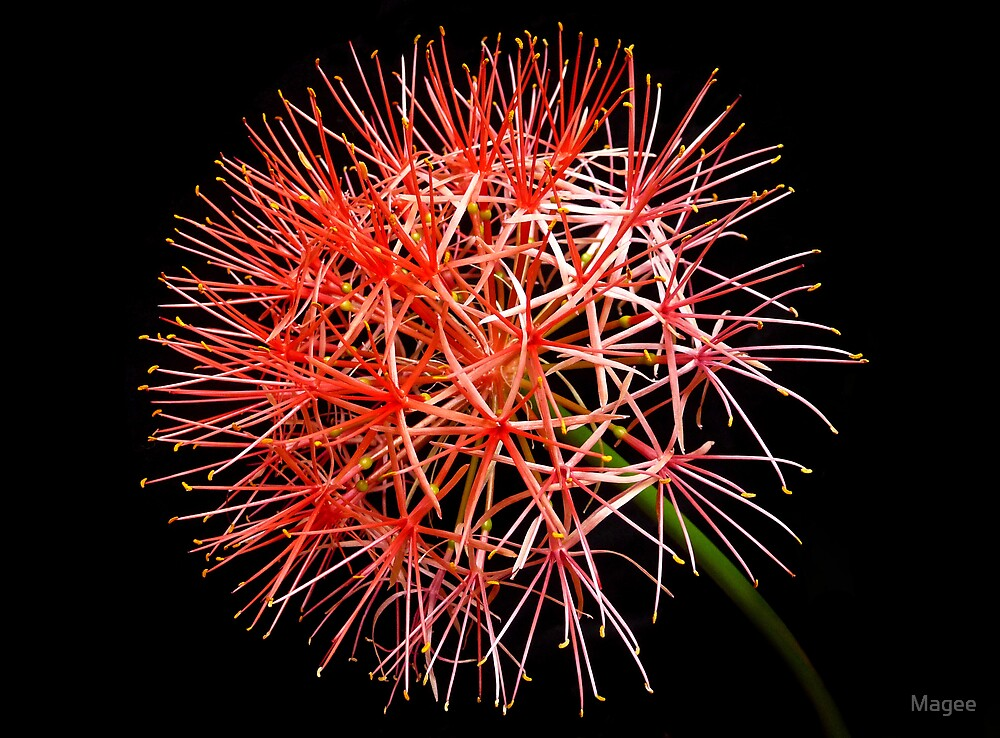 Blood Lily by Magee