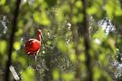 Red bird by Moshe Cohen