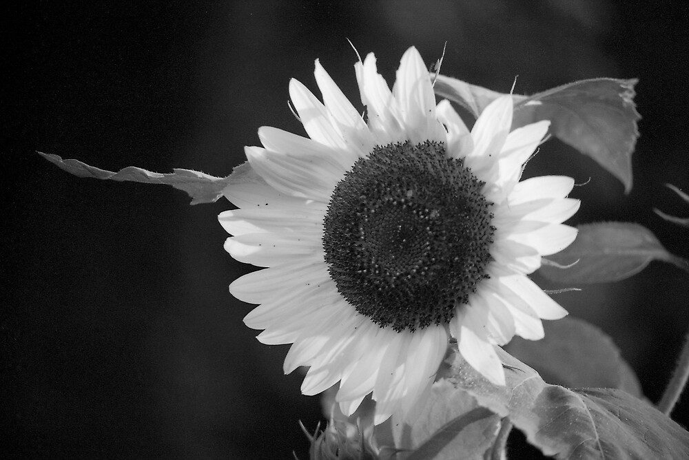 Sunflower by Akkorn
