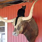 Cat on a Steer by amyboddie