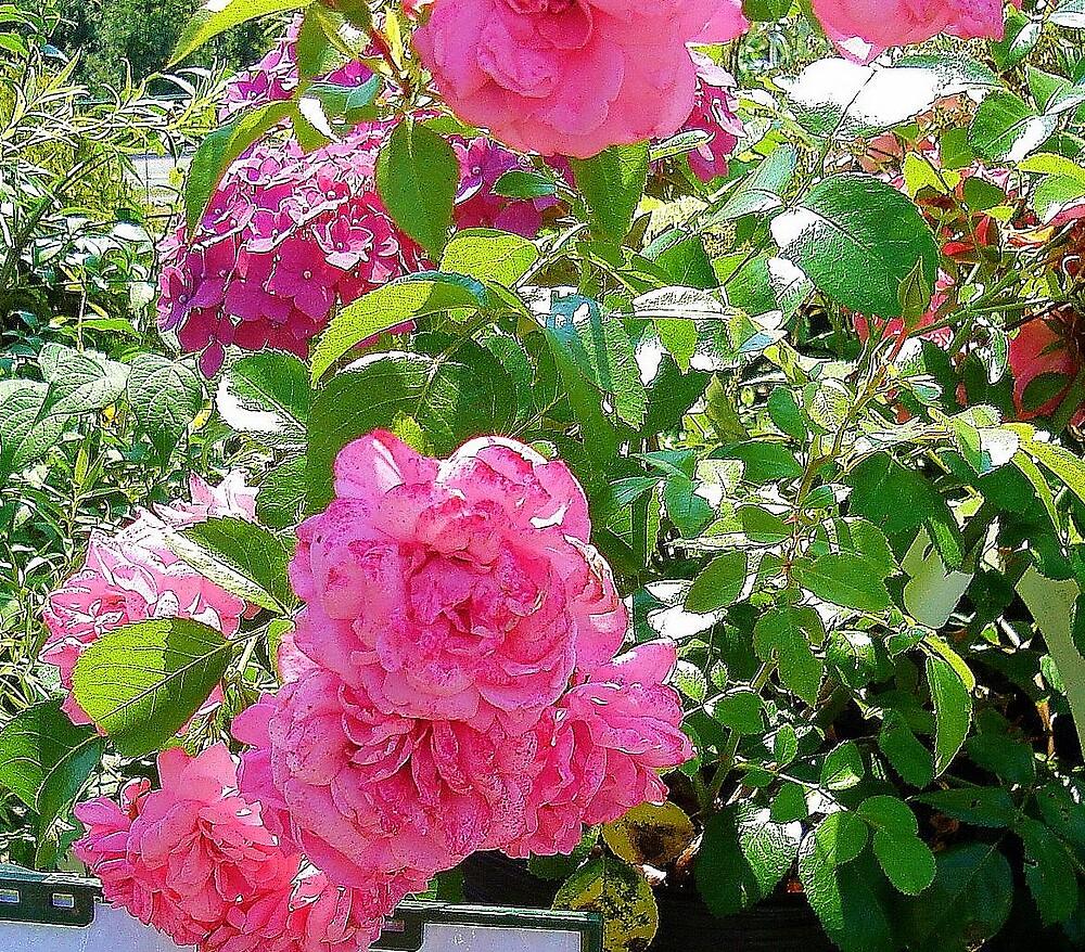 Rambling Rose by Doreen