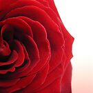 red rose by akwel