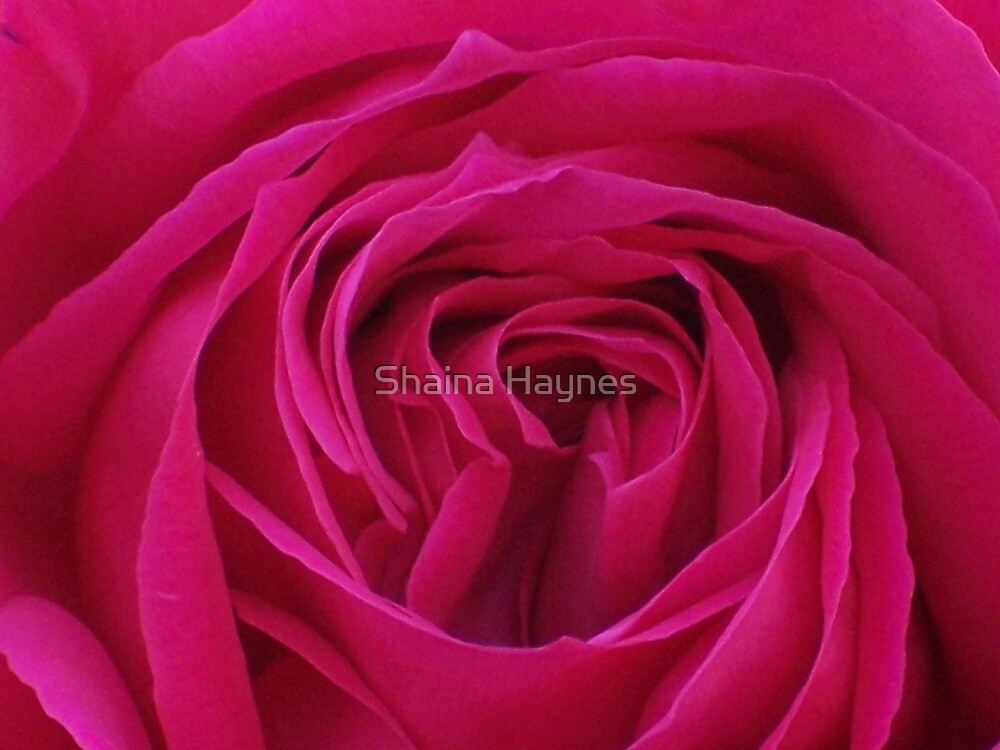Red Red Rose by Shaina Haynes