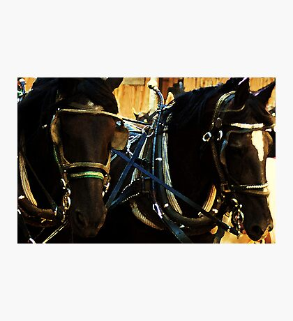French Percheron Muster Photographic Print