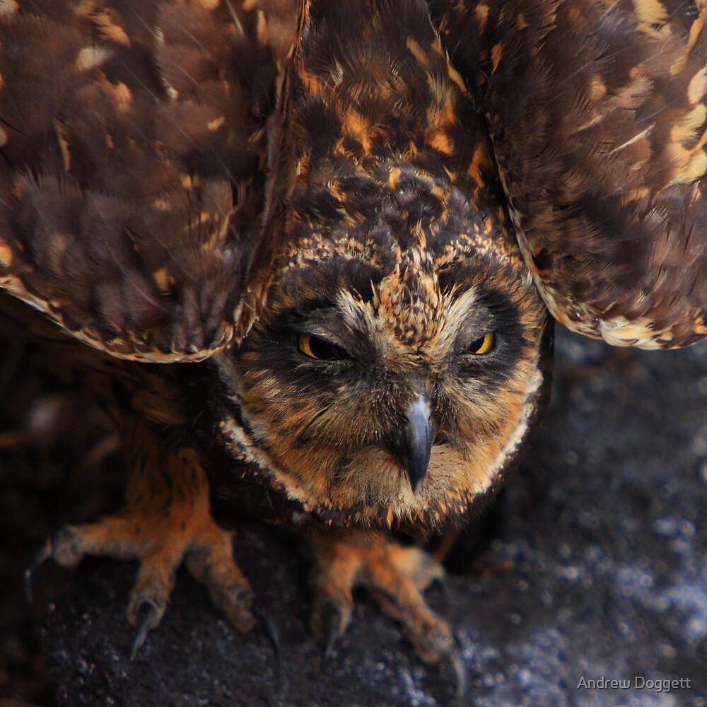 Short Eared Owl by Andrew Doggett