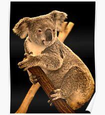 Koala on Branch, Queensland, Australia Poster