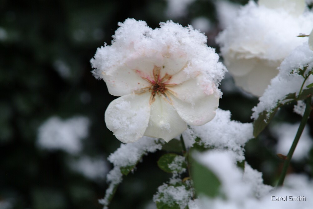 Snow on the Rose by Carol Smith
