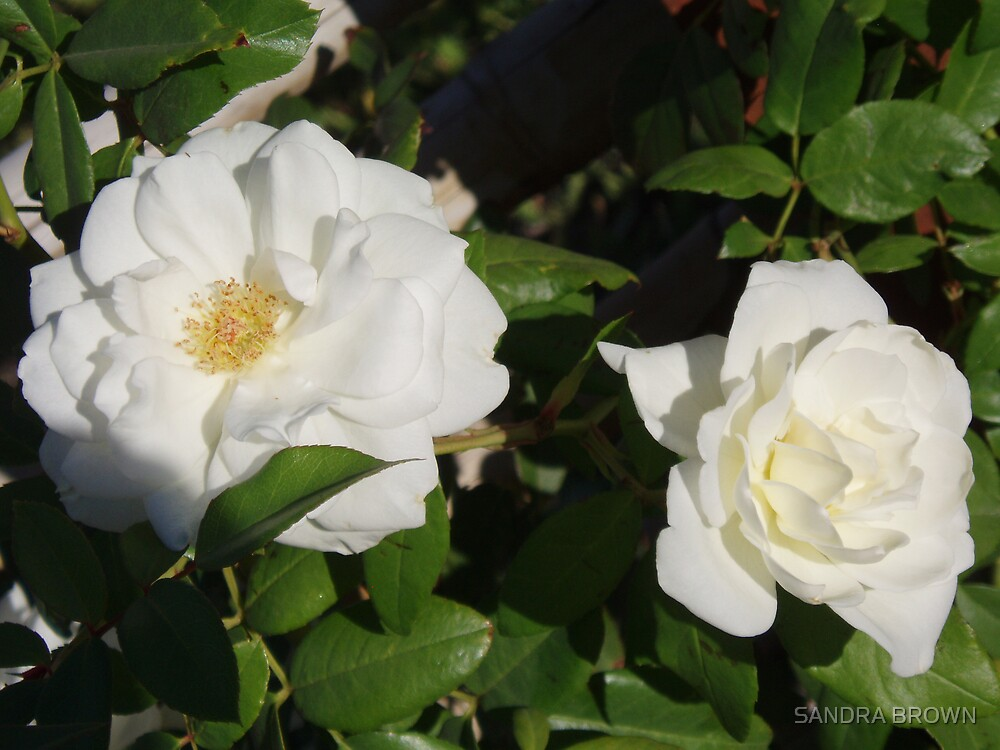 WHITE ROSES by SANDRA BROWN