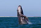 Gray Whale Breaching by Steve Bulford