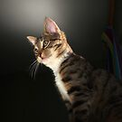 Tabby kitten with dark background by turniptowers