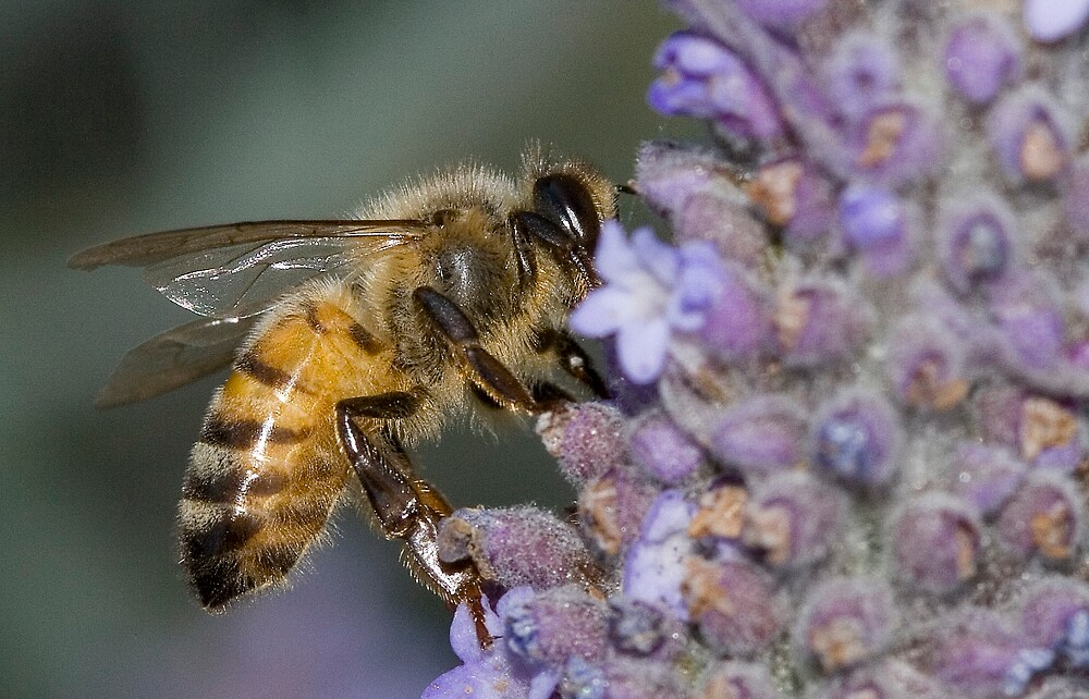 Bee on a Lavendar Bush by Peter Macphail