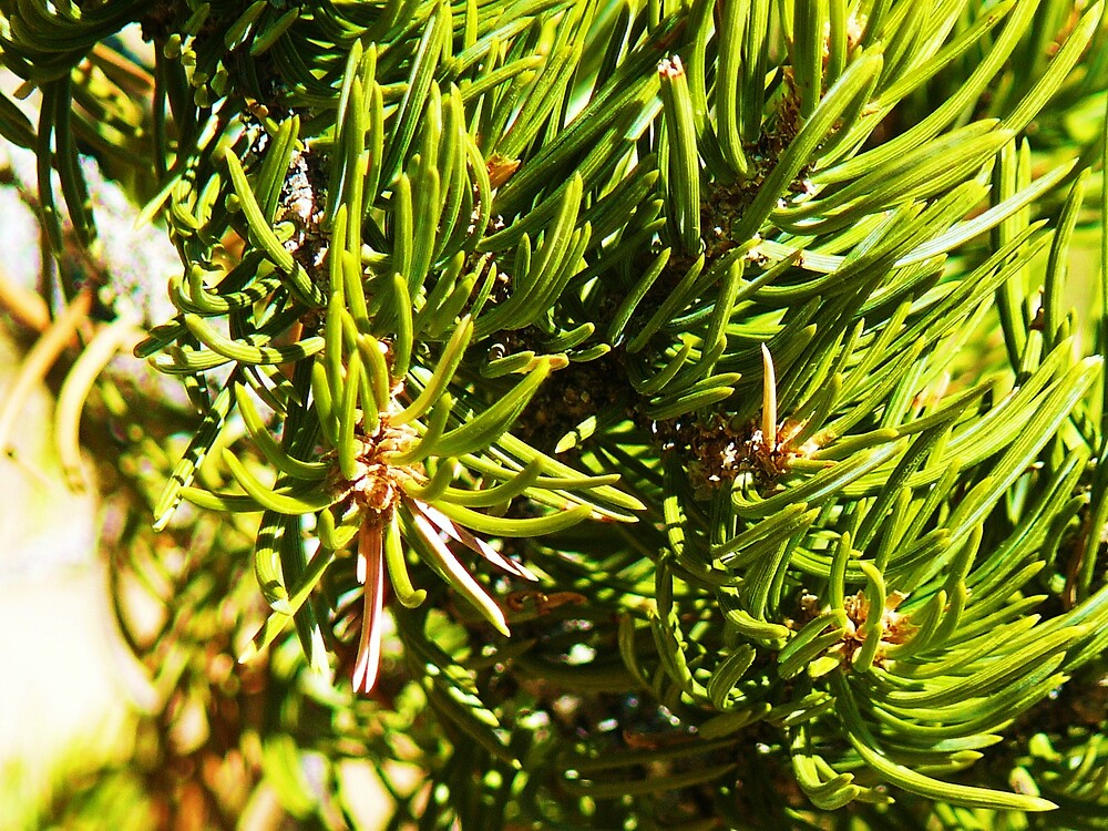 Pine Needles by RoaddogDesigns