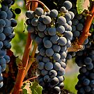 Wine Grapes on the Vine by rrushton