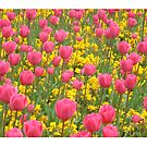 Field of Tulips by Peter Barrett