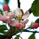 Apple Blossom by Faith Barker Photography