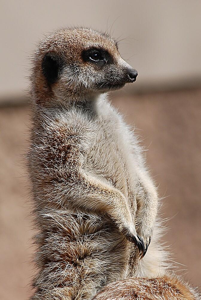Meerkat by mirken21