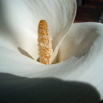 Arum Lily and fly by presbi