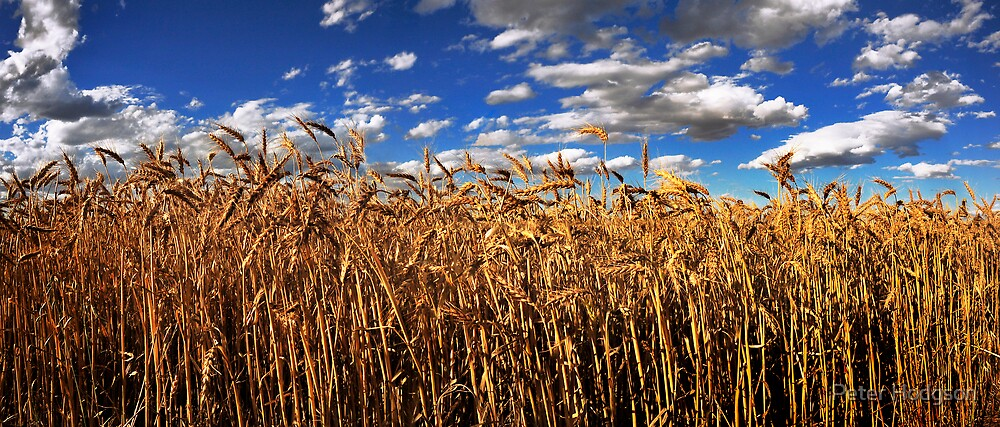 The Golden crop by Peter Hodgson