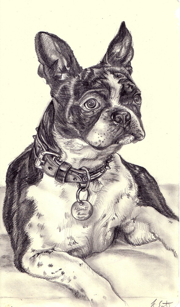 Boston Terrier by Kimberley East