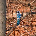 Blue Jay by David Lamb