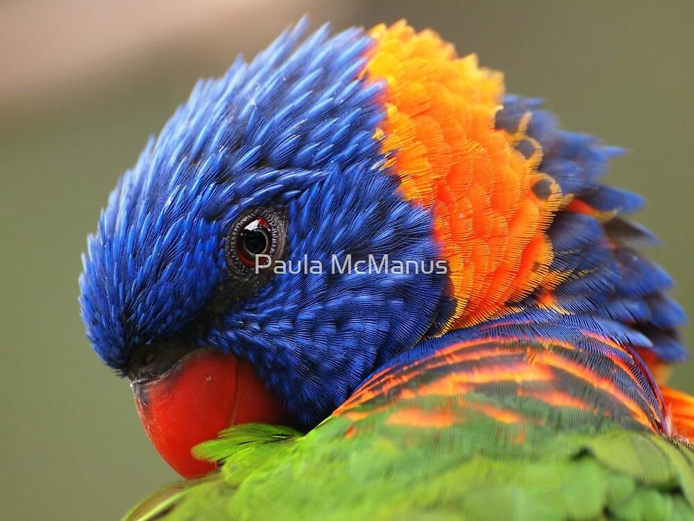 Rainbow Lorikeet by Paula McManus