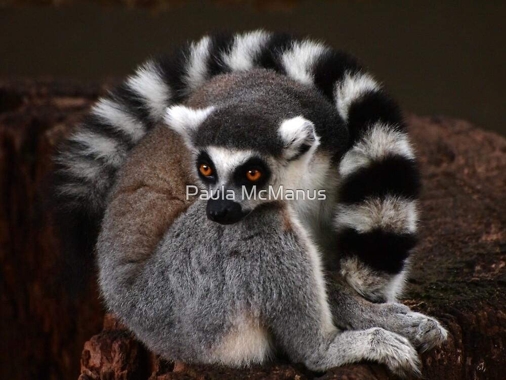 Ring-Tailed Lemur by Paula McManus