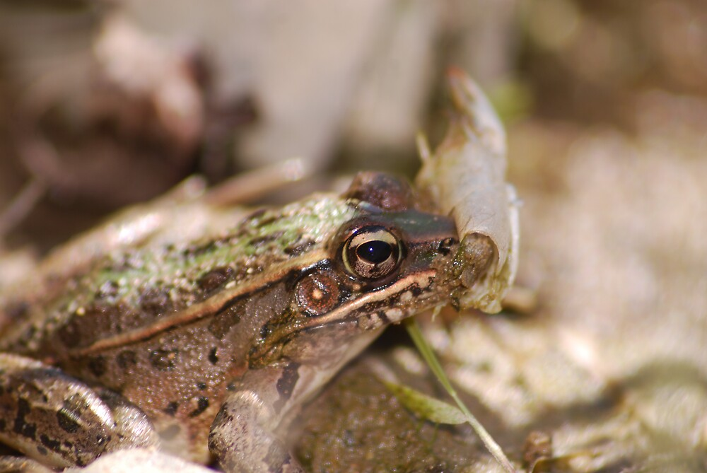 River Frog by Curt Simmons