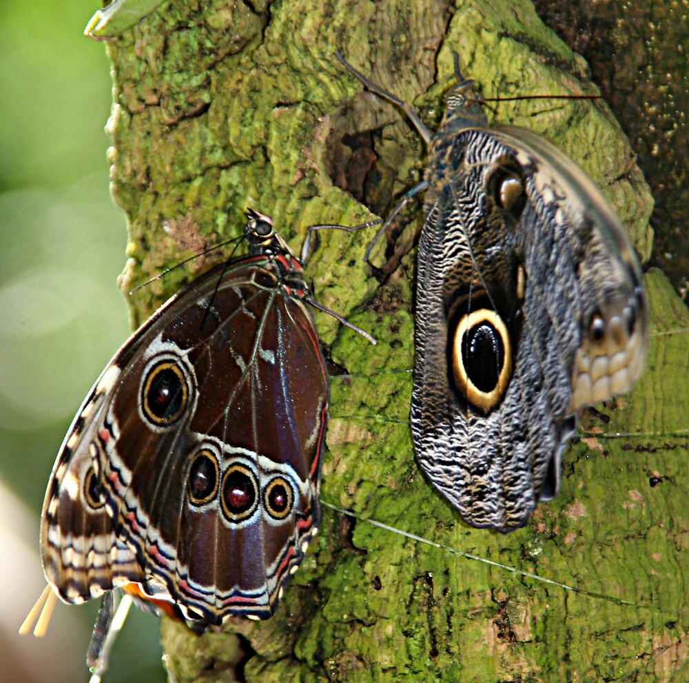 Two Butterflies by Virginia Maguire