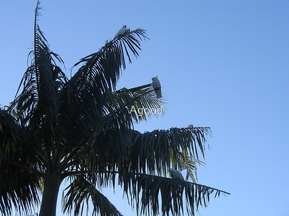 Cockatoo Condo by Agood