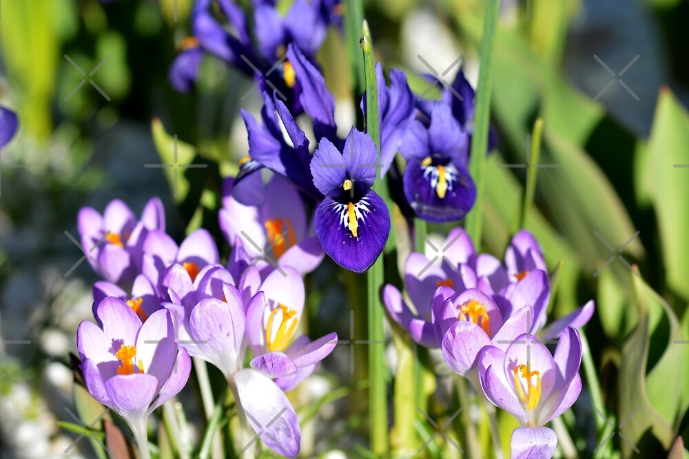 Iris and Crocus by SiobhanFraser