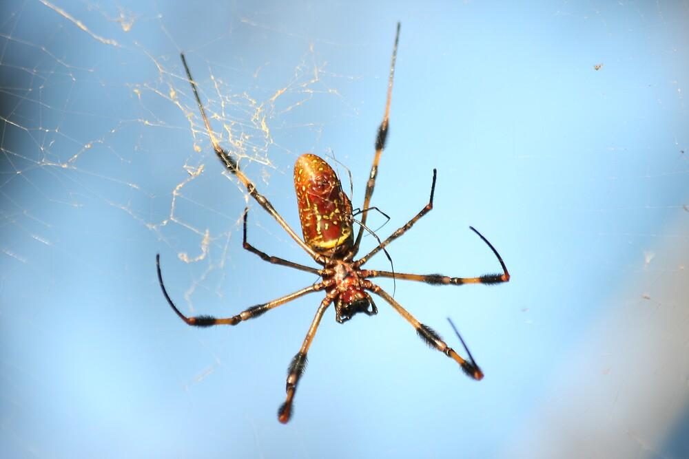 Florida Spider by noffi