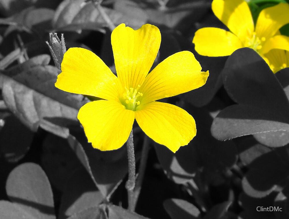 Yellow Wood Sorrel by ClintDMc
