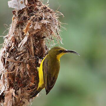 female sunbird by colhellmuth