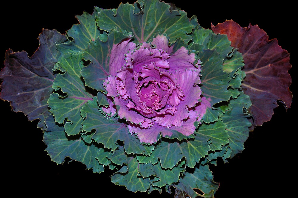 Cabbage by Jawaher