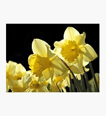 Sunlit Yellow Daffodils in Spring Photographic Print