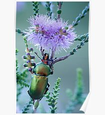 Christmas Beetle at Cosy Corner Poster