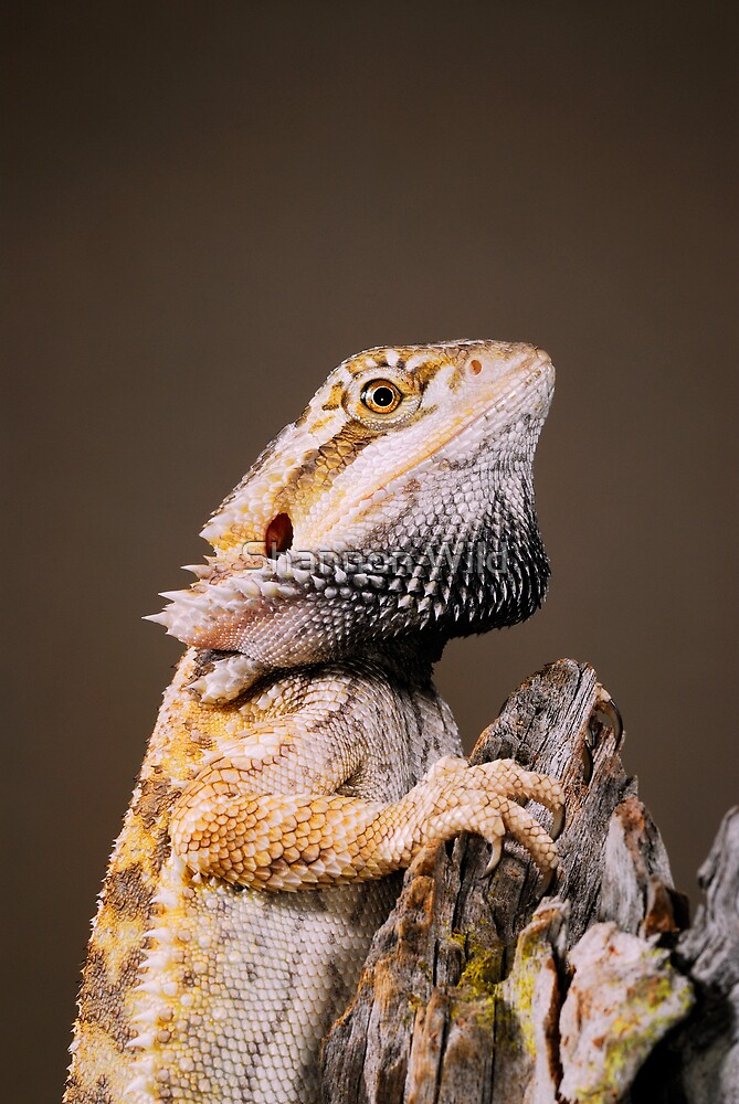 Quot Central Bearded Dragon Pogona Vitticeps Quot By Shannon