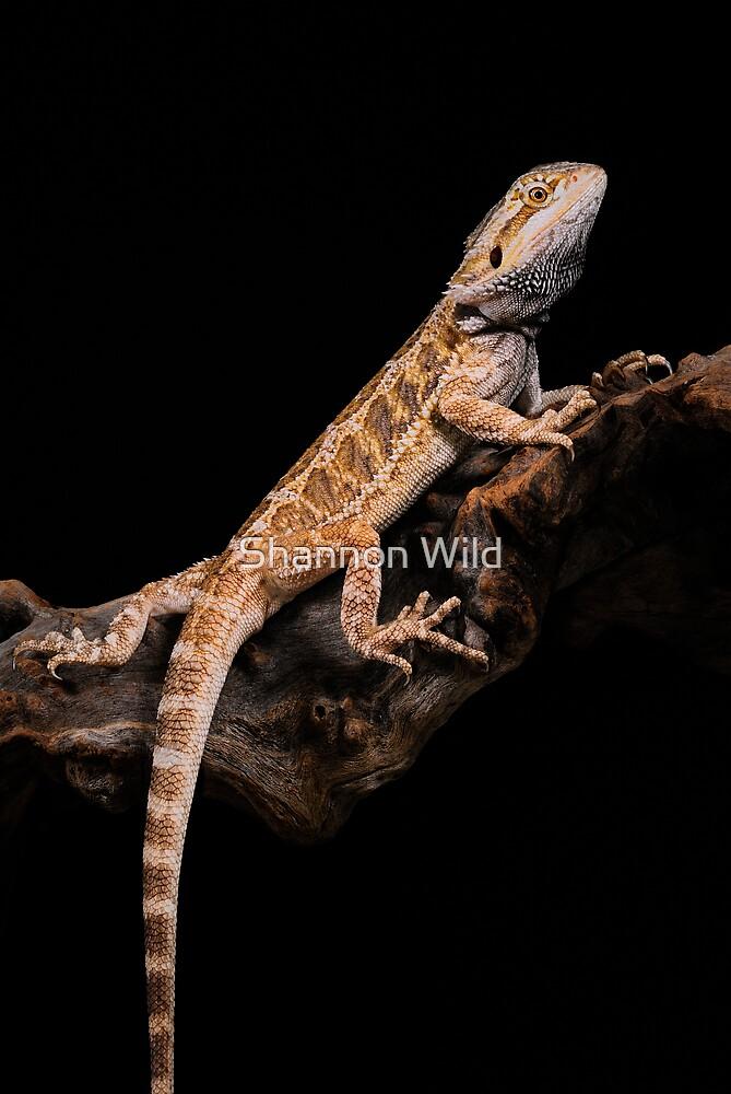 Central Bearded Dragon [Pogona vitticeps] by Shannon Wild