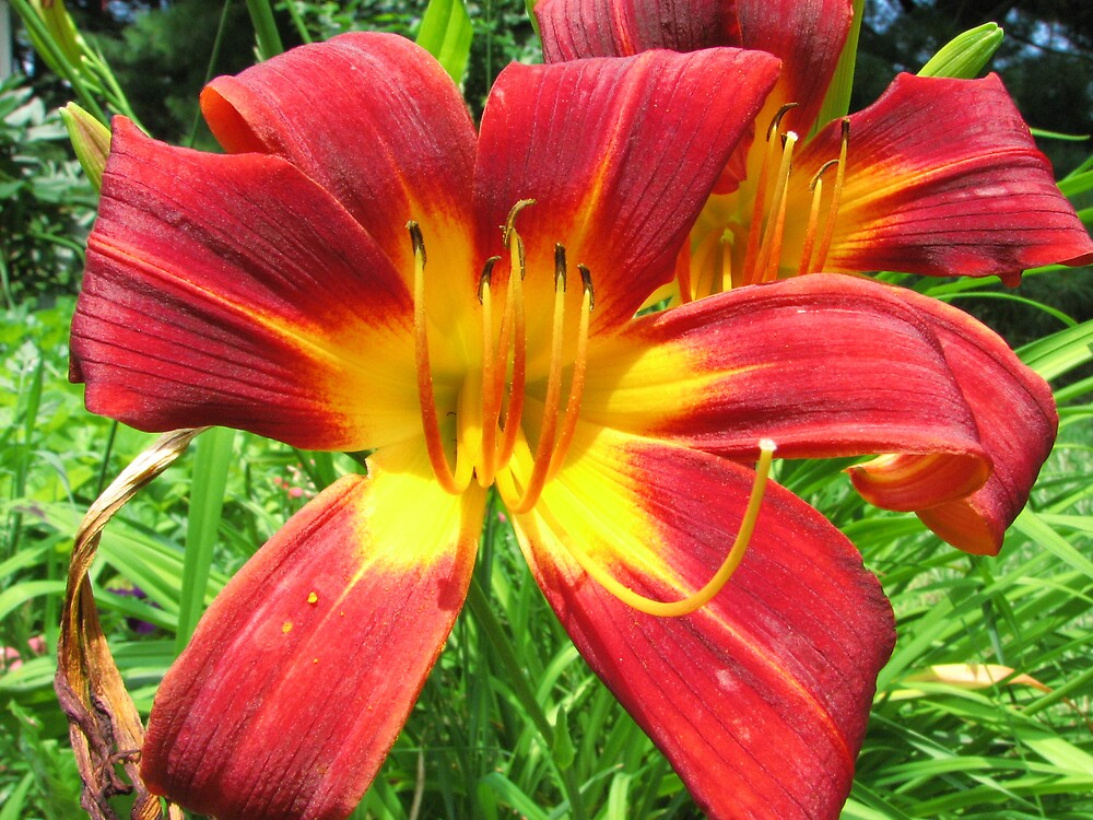 DAYLILIES2 by Paul Smileatu