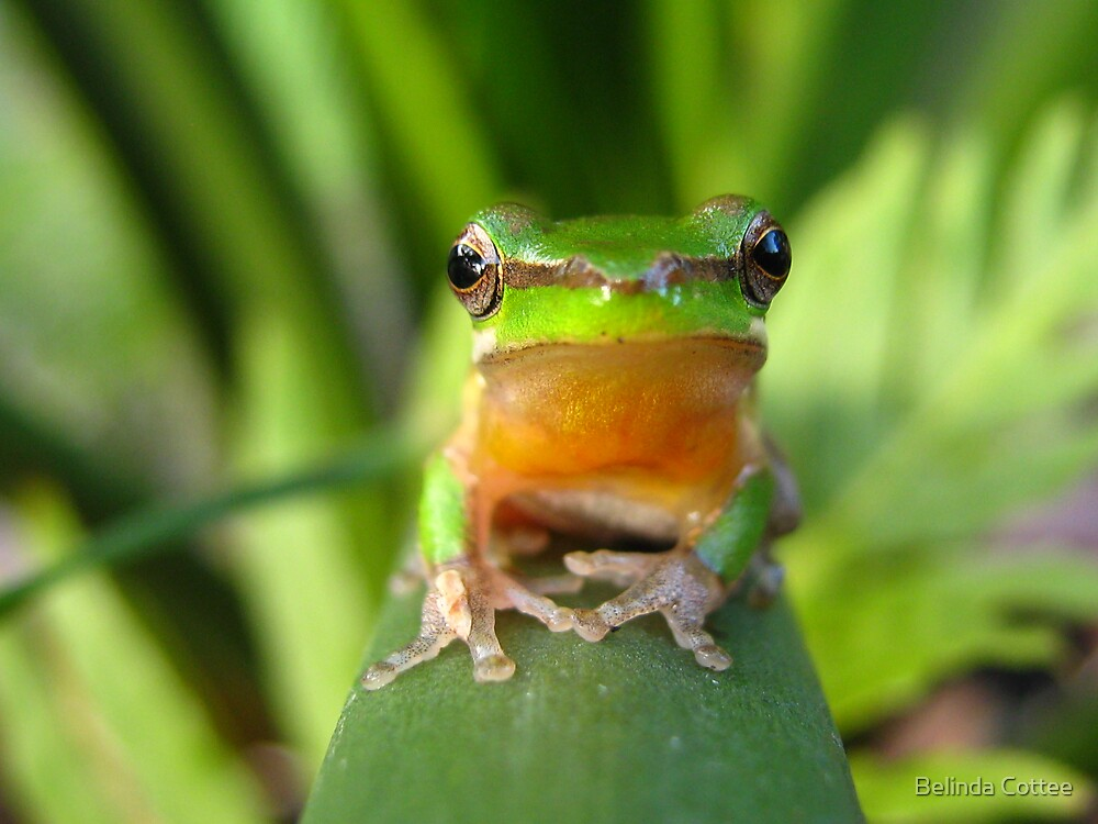 frog on a frond by Belinda Cottee