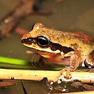 Green-thighed frog - female in water by Narelle Power