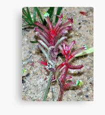 Kangaroo Paw ~ Anigozanthos sp.(red form) Haemodoraceae Canvas Print